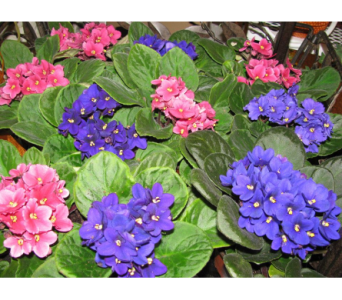 African Violet in Bismarck ND, Dutch Mill Florist, Inc.