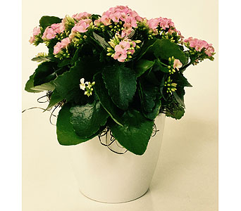 Kalanchoe Plant in Northfield MN, Forget-Me-Not Florist