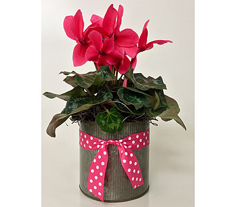 Pink Cyclamen in Northfield MN, Forget-Me-Not Florist