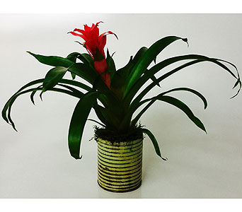 Bromeliad Plant in Northfield MN, Forget-Me-Not Florist