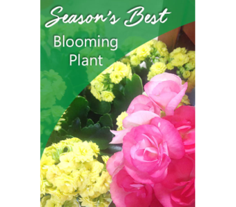 Season's Best Blooming Plant in Fargo ND, Dalbol Flowers & Gifts, Inc.