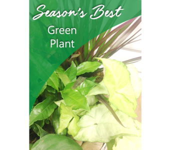 Season's Best Green Plant in Fargo ND, Dalbol Flowers & Gifts, Inc.