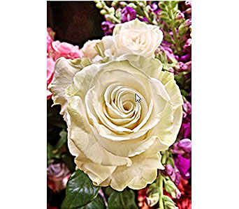 White Mondial Roses in Massapequa Park NY, Bayview Florist & Montage  1-800-800-7304