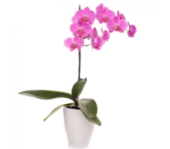 Purple Orchid Plant in Waterbury CT, The Orchid Florist