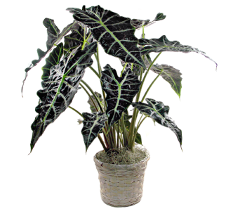 Alocasia Plant in Indianapolis IN, Steve's Flowers and Gifts