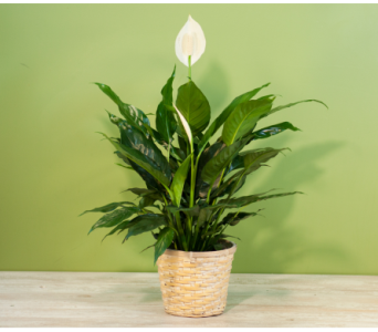 Table Top Peace Lily in Merrick NY, Feldis Florists
