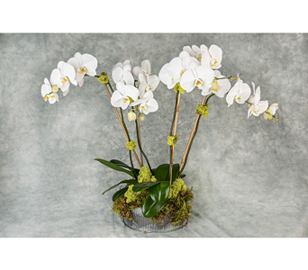 Two Double-Stemmed White Phalaenopsis   in Great Neck NY, United Floral