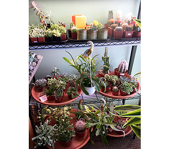 Succulents in Northfield MN, Forget-Me-Not Florist