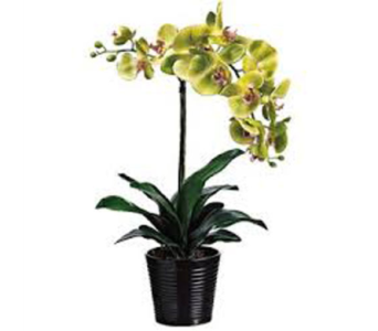 Green Potted Phalaenopsis Orchid in Guelph ON, Patti's Flower Boutique