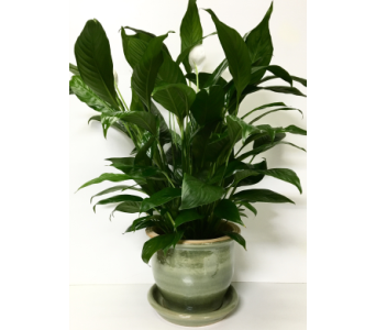 Peace Lily in Green Ceramic in Wyoming MI, Wyoming Stuyvesant Floral