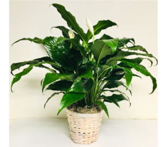 Peace Lily Plant - 3 Sizes Available in Wyoming MI, Wyoming Stuyvesant Floral