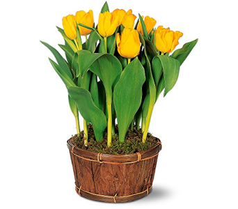 Potted Tulips in South Hadley MA, Carey's Flowers, Inc.