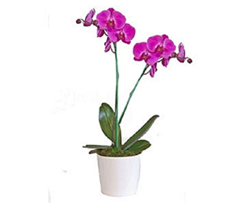 Doubled Spike Orchid Plant in Timmins ON, Timmins Flower Shop Inc.
