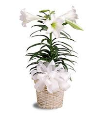 Easter Lily in Nashville TN, Emma's Flowers & Gifts, Inc.