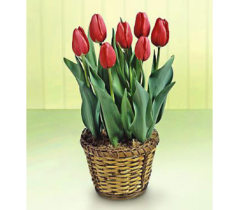 Potted Tulip in Miramichi NB, Country Floral Flower Shop