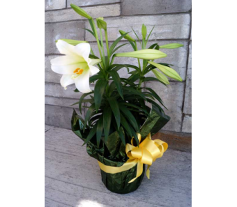 EASTER LILY (double) in Muskegon MI, Wasserman's Flower Shop