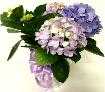 Hydrangea Plant - 2 colors available in Wyoming MI, Wyoming Stuyvesant Floral