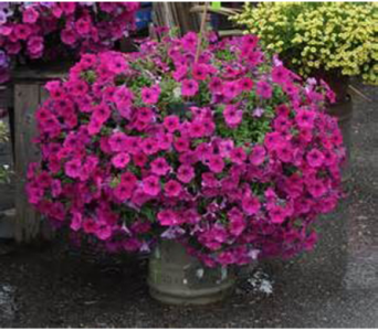 Pink Petunia Hanger  in Madison ME, Country Greenery Florist & Formal Wear