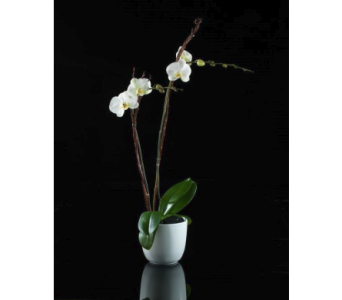 Classic White Orchid in Boston MA, Stapleton Floral