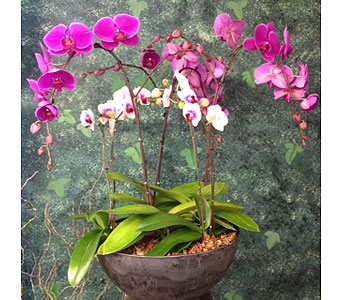 Phalaenopsis Orchids in Surrey BC, La Belle Fleur Floral Boutique Ltd.