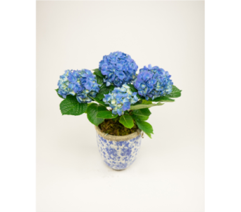 Hydrangea in Ceramic Container in Little Rock AR, Tipton & Hurst, Inc.
