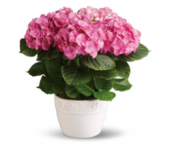 Hydrangea - Pink - Read Description in Concord NC, Pots Of Luck Florist