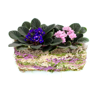 African Violets in Nashville TN, Emma's Flowers & Gifts, Inc.