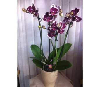 Phalaenopsis orchid in Grand-Sault/Grand Falls NB, Centre Floral de Grand-Sault Ltee