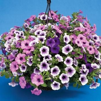 Petunia Hanging Basket in Mechanicville NY, Matrazzo Florist