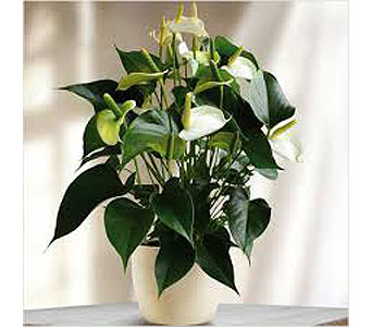 Anthurium Plant in Clearwater FL, Hassell Florist