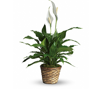 Peace Lily - Small in Springfield OH, Schneider's Florist