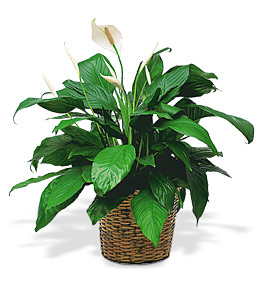 Peace Lily in Clearwater FL, Hassell Florist