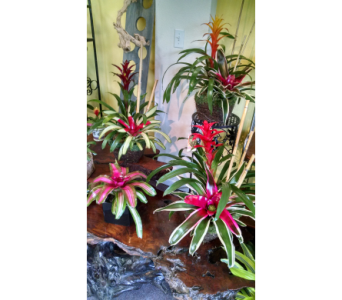 Bromeliad GardensStarting at $40 in Largo FL, Rose Garden Florist