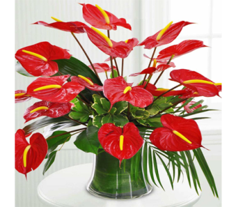 Royal Anthuriums in Indianapolis IN, George Thomas Florist