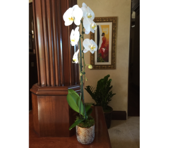 Single cascading white orchid  in Woodland Hills CA, Abbey's Flower Garden