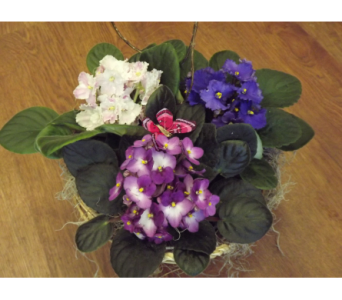 Triple African Violet Basket in Manhasset NY, Town & Country Flowers