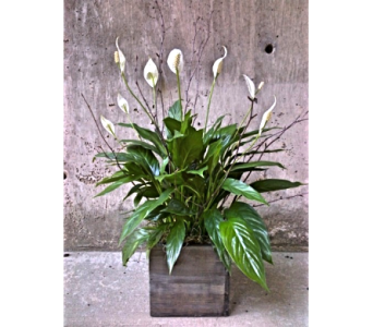 Peace Lily in Boulder CO, Boulder Blooms