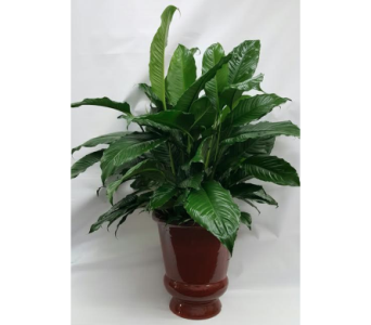 Large Peace Lily in Ceramic Container in Houston TX, Athas Florist