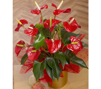 Red Anthurium  in Campbell CA, Citti's Florists
