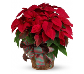 XL Poinsettia in Needham MA, Needham Florist