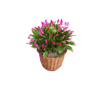Red Christmas Cactus in Winston Salem NC, Sherwood Flower Shop, Inc.