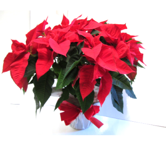 Double stem poinsettia in Worcester MA, Holmes Shusas Florists, Inc