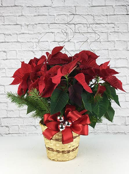 Dressed Poinsettia: 6 inch pot in Scranton PA, Remick Floral & Gift