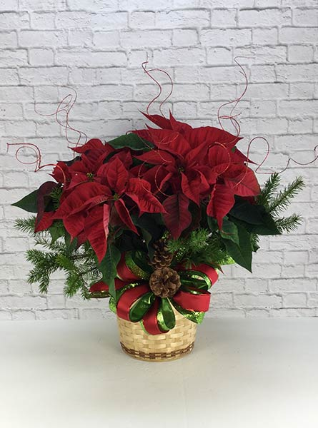Dressed Poinsettia: 8 inch pot in Scranton PA, Remick Floral & Gift