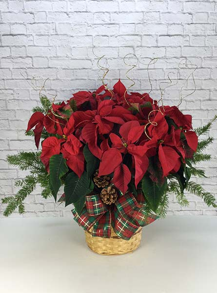 Dressed Poinsettia: 10 inch pot in Scranton PA, Remick Floral & Gift