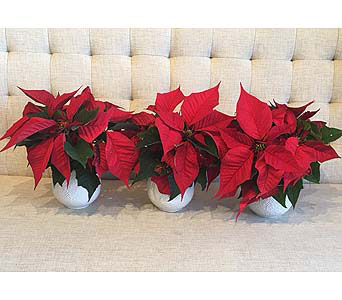 Mini Poinsettia Trio in Charleston SC, Tiger Lily Florist Inc.