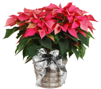 Pink Poinsettia in a Basket in Madison WI, Felly's Flowers