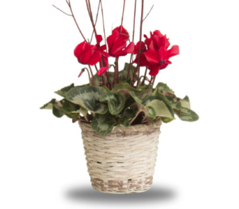 Christmas Cyclamen in Oshkosh WI, House of Flowers