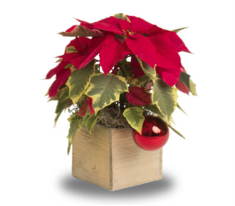 Poinsettia in Whitewash Box in Oshkosh WI, House of Flowers