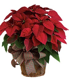 Poinsettia in Stuart FL, Harbour Bay Florist